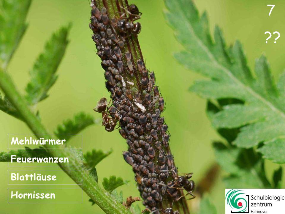 7 Mehlwürmer Feuerwanzen Blattläuse Hornissen