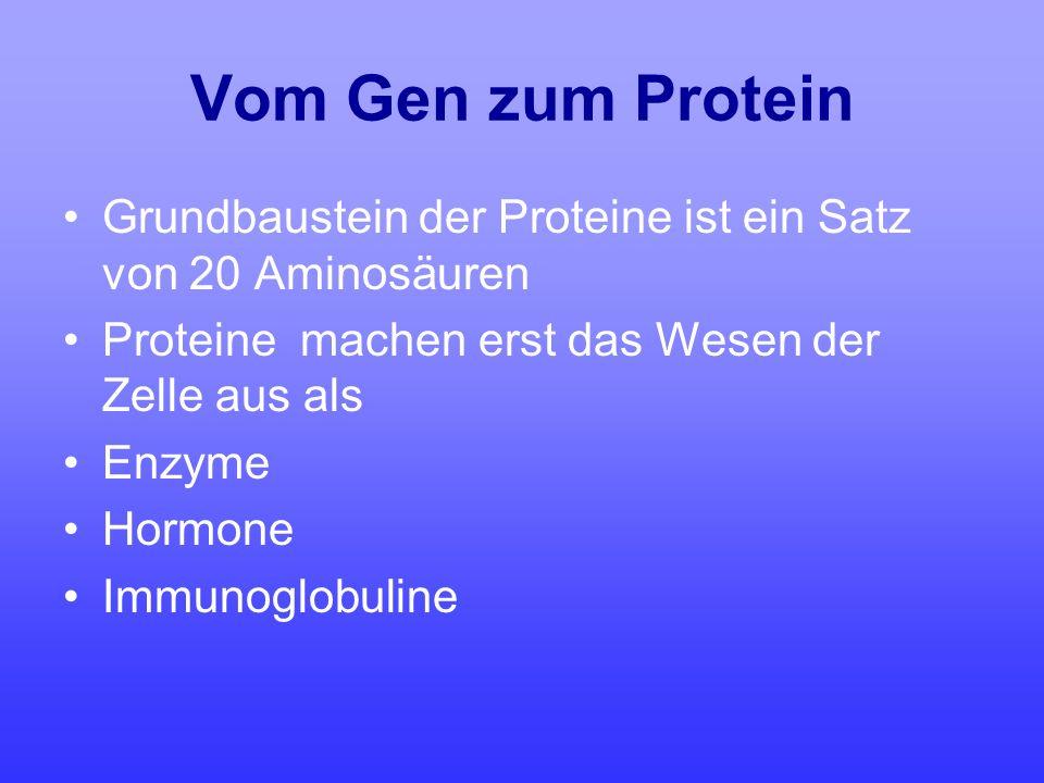 Vom Gen zum Protein Grundbaustein der Proteine ist ein Satz von 20 Aminosäuren. Proteine machen erst das Wesen der Zelle aus als.