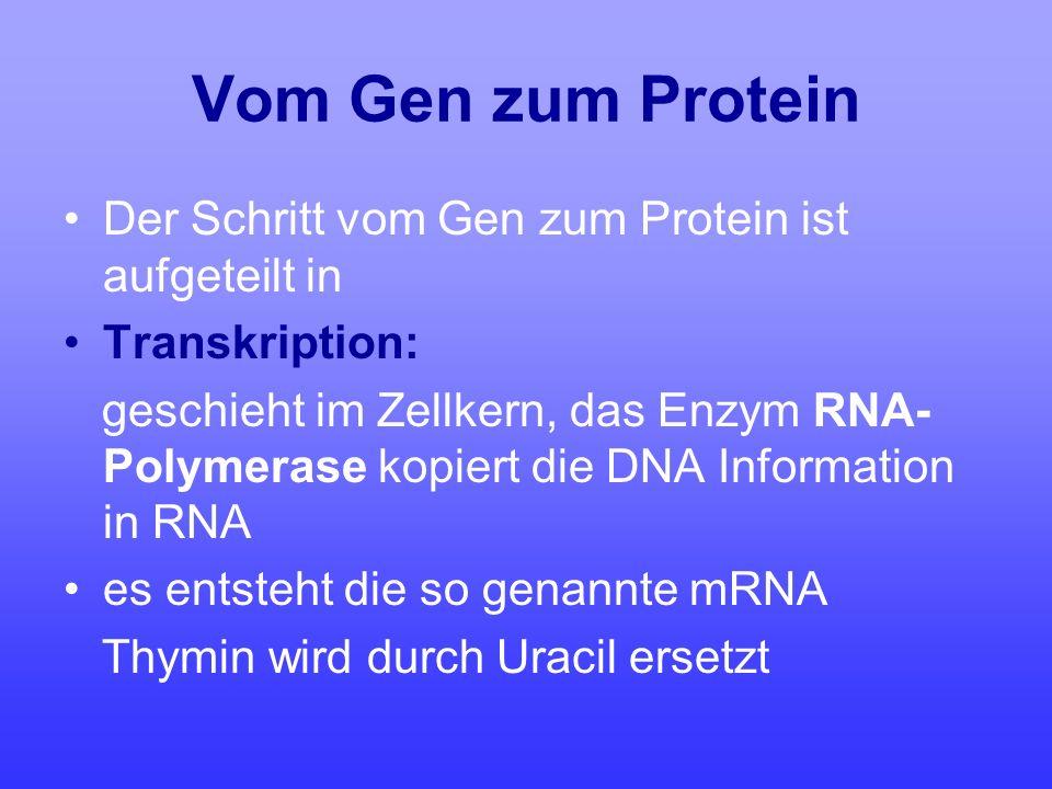 Vom Gen zum Protein Der Schritt vom Gen zum Protein ist aufgeteilt in