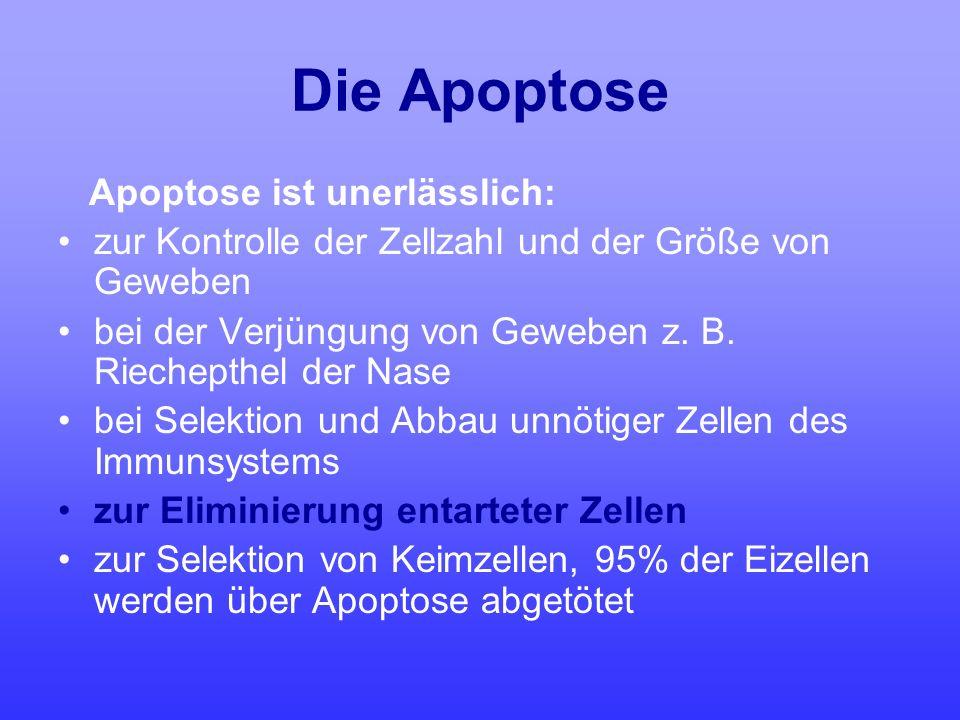 Die Apoptose Apoptose ist unerlässlich: