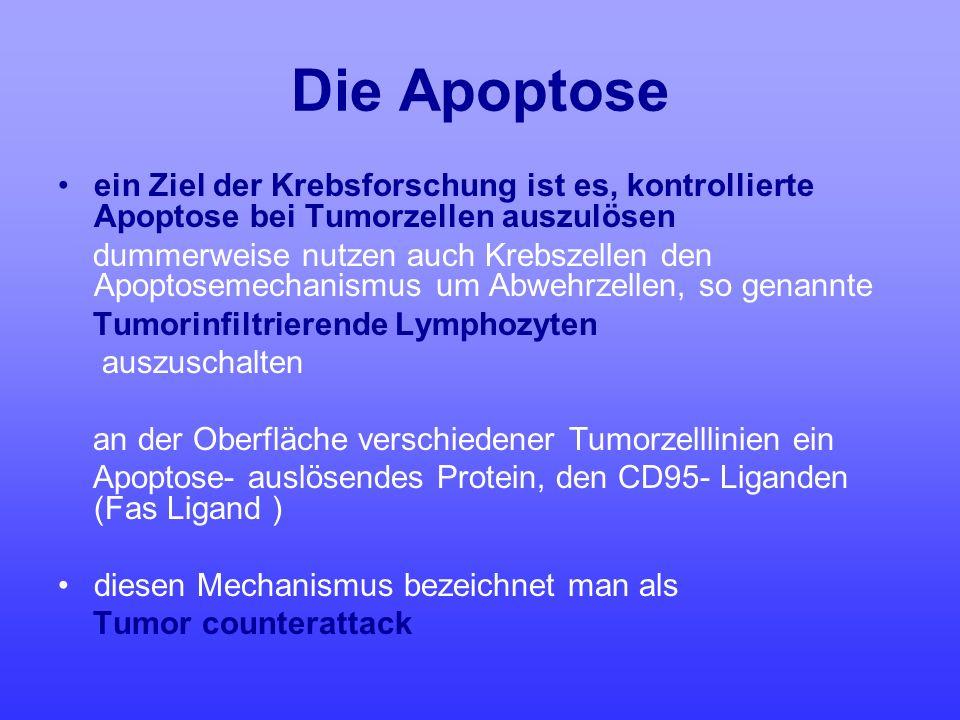 Die Apoptose ein Ziel der Krebsforschung ist es, kontrollierte Apoptose bei Tumorzellen auszulösen.