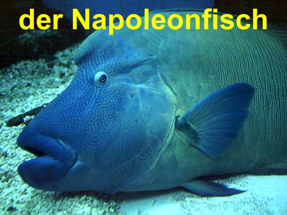 der Napoleonfisch