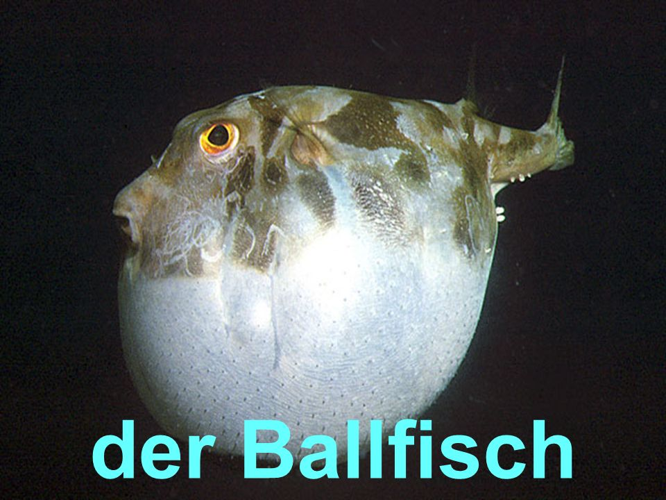 der Ballfisch