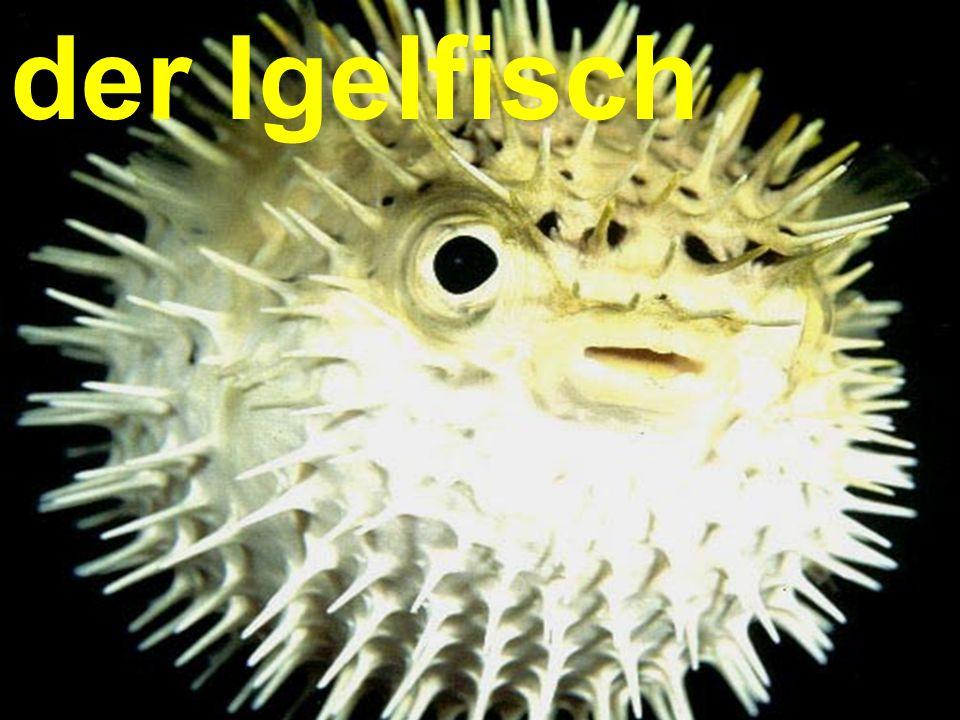 der Igelfisch