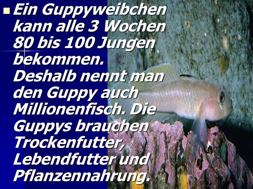 Ein Guppyweibchen kann alle 3 Wochen 80 bis 100 Jungen bekommen