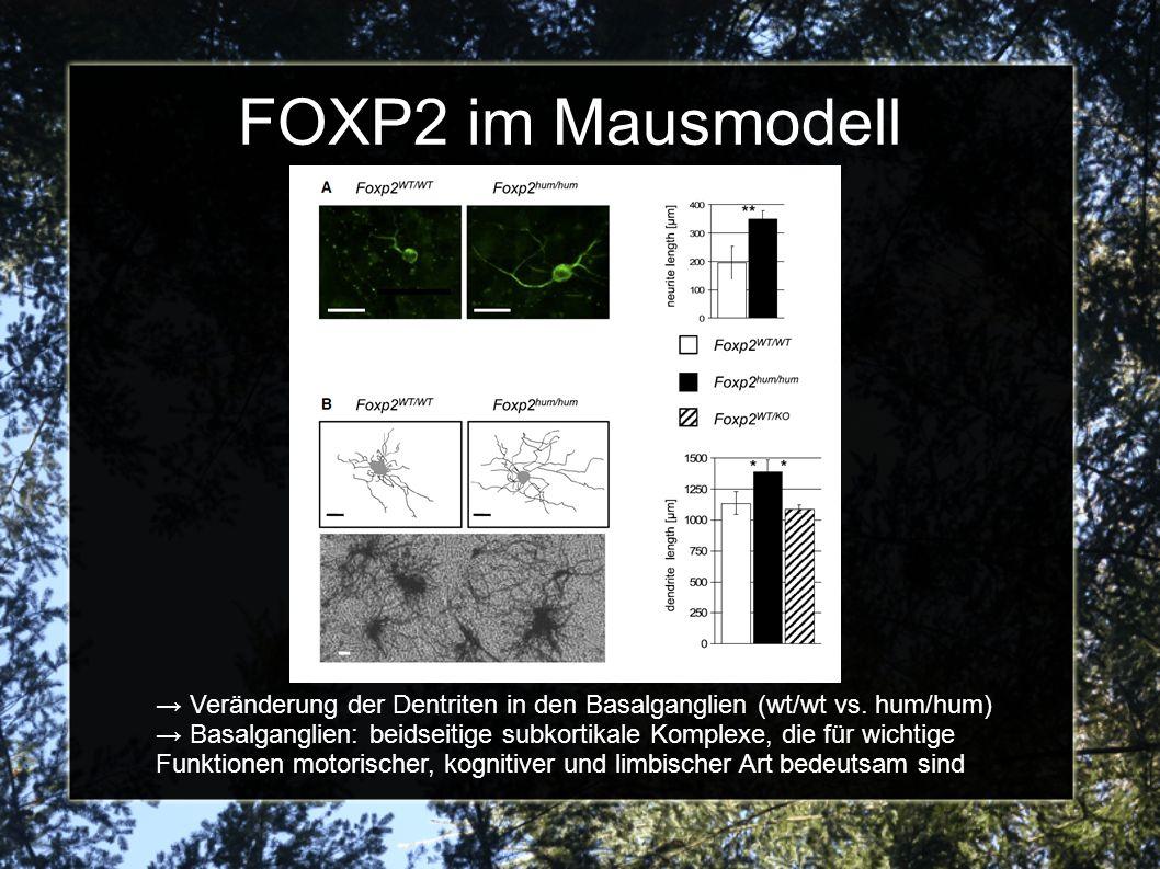 FOXP2 im Mausmodell → Veränderung der Dentriten in den Basalganglien (wt/wt vs. hum/hum)