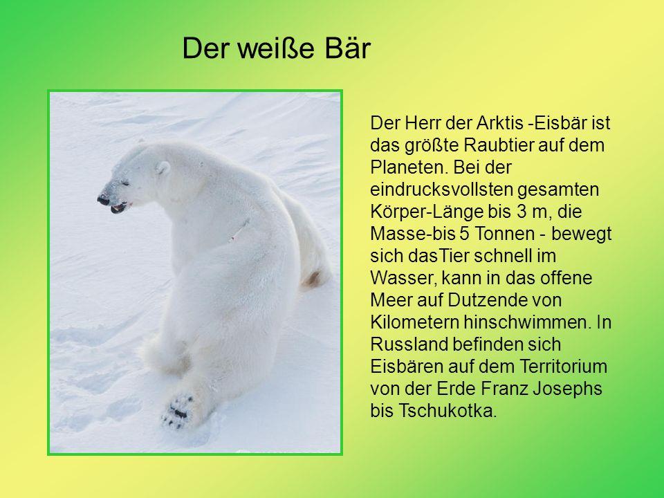 Der weiße Bär
