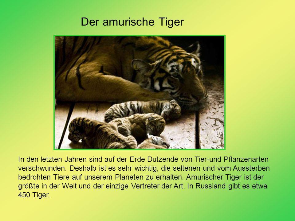 Der amurische Tiger