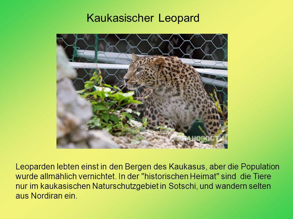 Kaukasischer Leopard