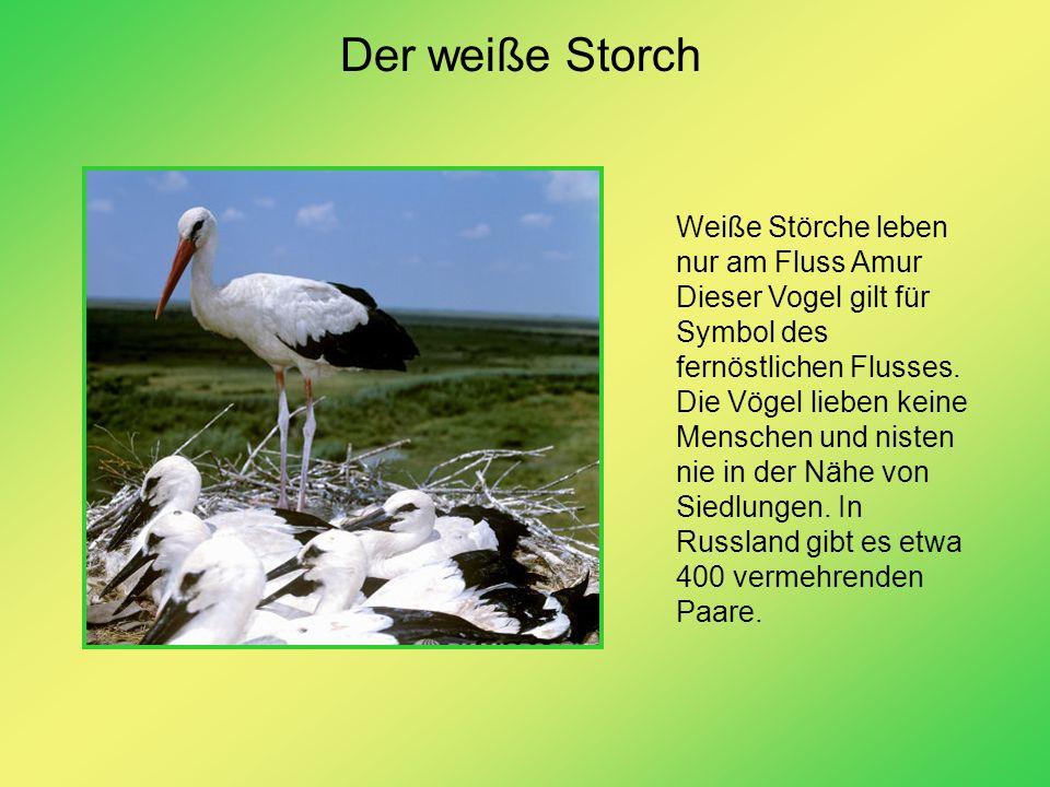 Der weiße Storch