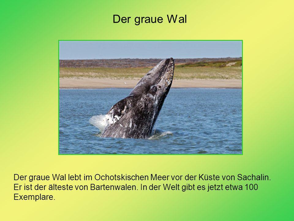 Der graue Wal