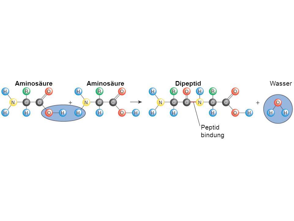 Aminosäure Dipeptid Peptid bindung Wasser Figure :3-12 Title: