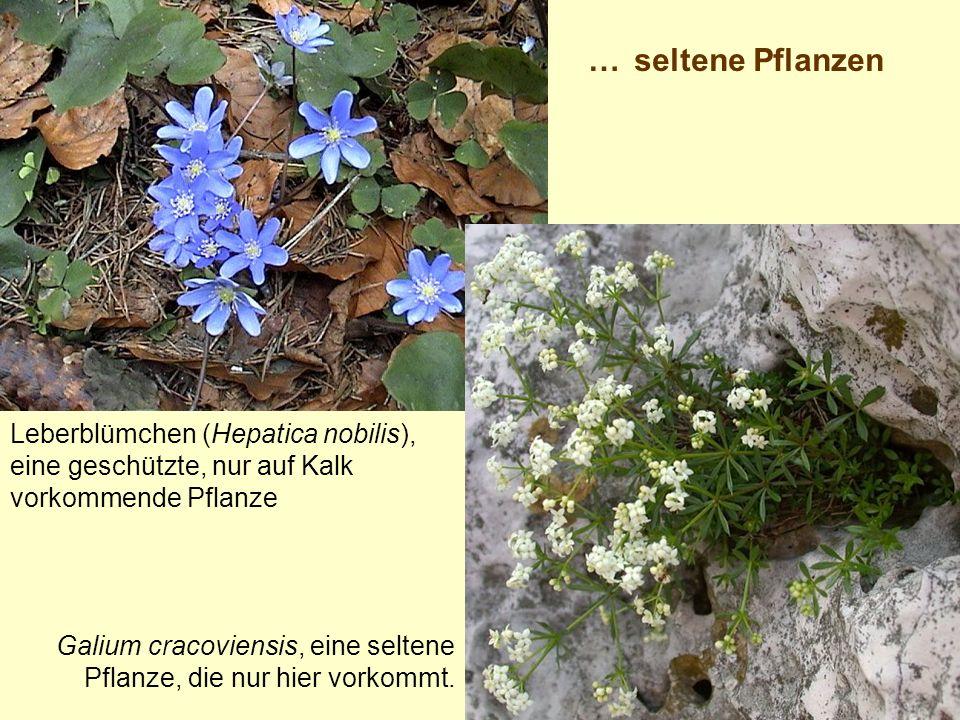 Leberblümchen (Hepatica nobilis), eine geschützte, nur auf Kalk vorkommende Pflanze