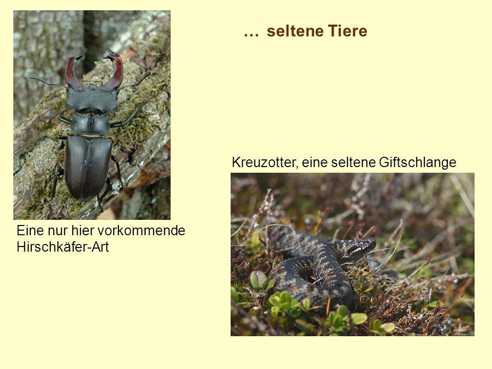 … seltene Tiere Kreuzotter, eine seltene Giftschlange