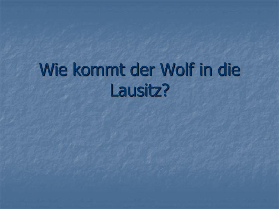 Wie kommt der Wolf in die Lausitz