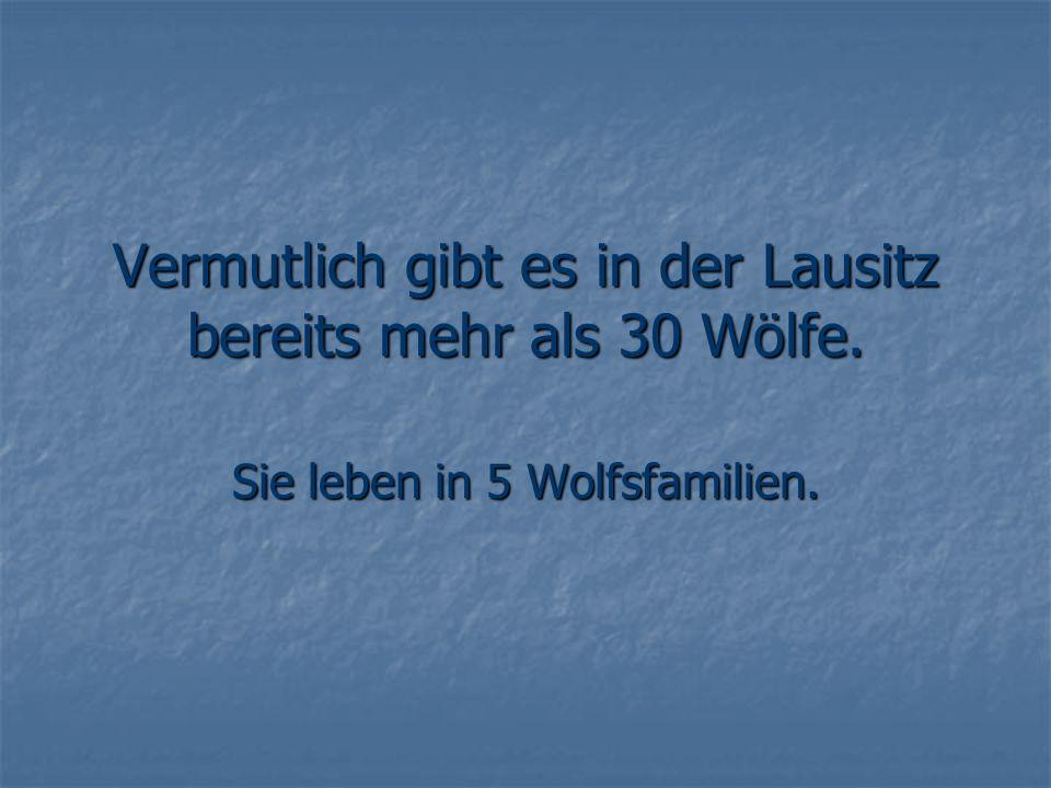 Vermutlich gibt es in der Lausitz bereits mehr als 30 Wölfe.