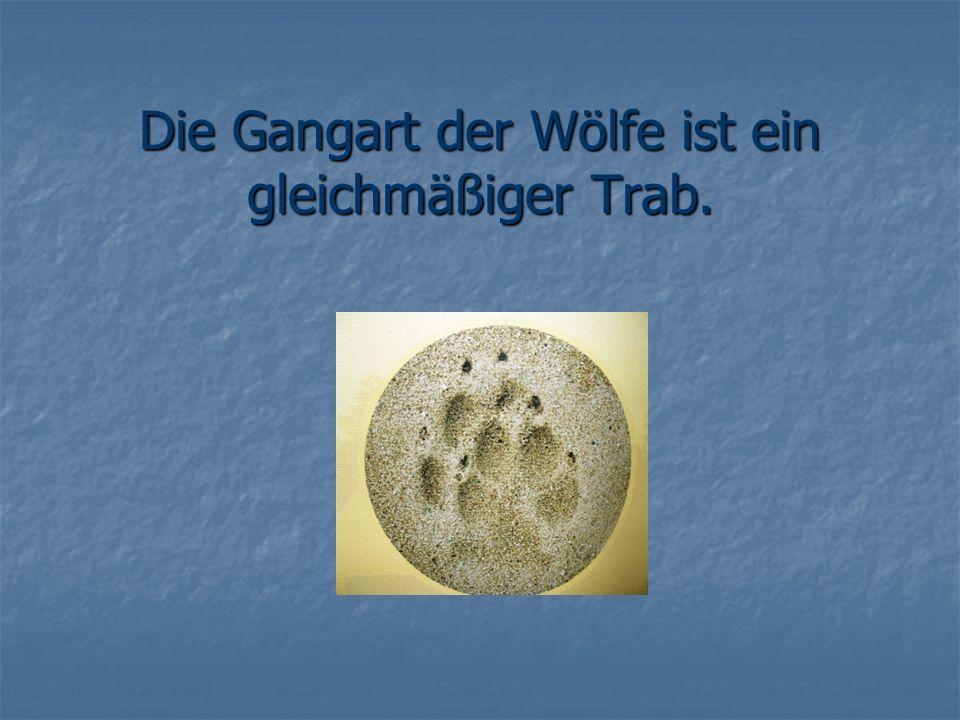 Die Gangart der Wölfe ist ein gleichmäßiger Trab.
