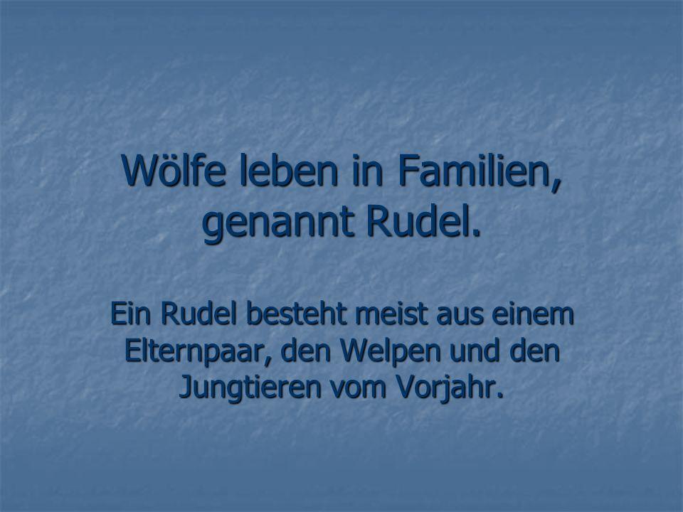 Wölfe leben in Familien, genannt Rudel.