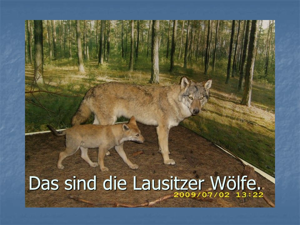 Das sind die Lausitzer Wölfe.