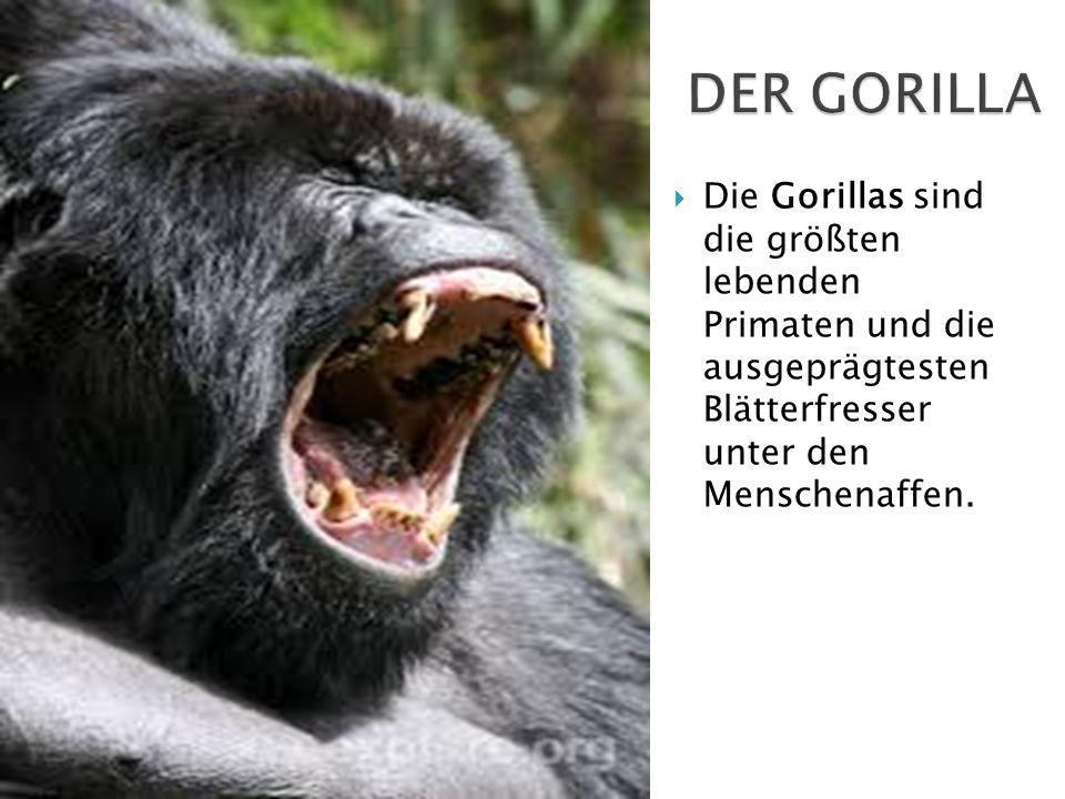 DER GORILLA Die Gorillas sind die größten lebenden Primaten und die ausgeprägtesten Blätterfresser unter den Menschenaffen.