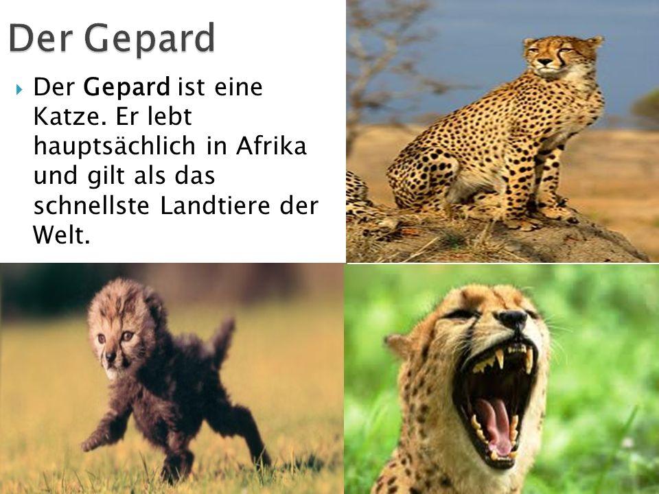 Der Gepard Der Gepard ist eine Katze.