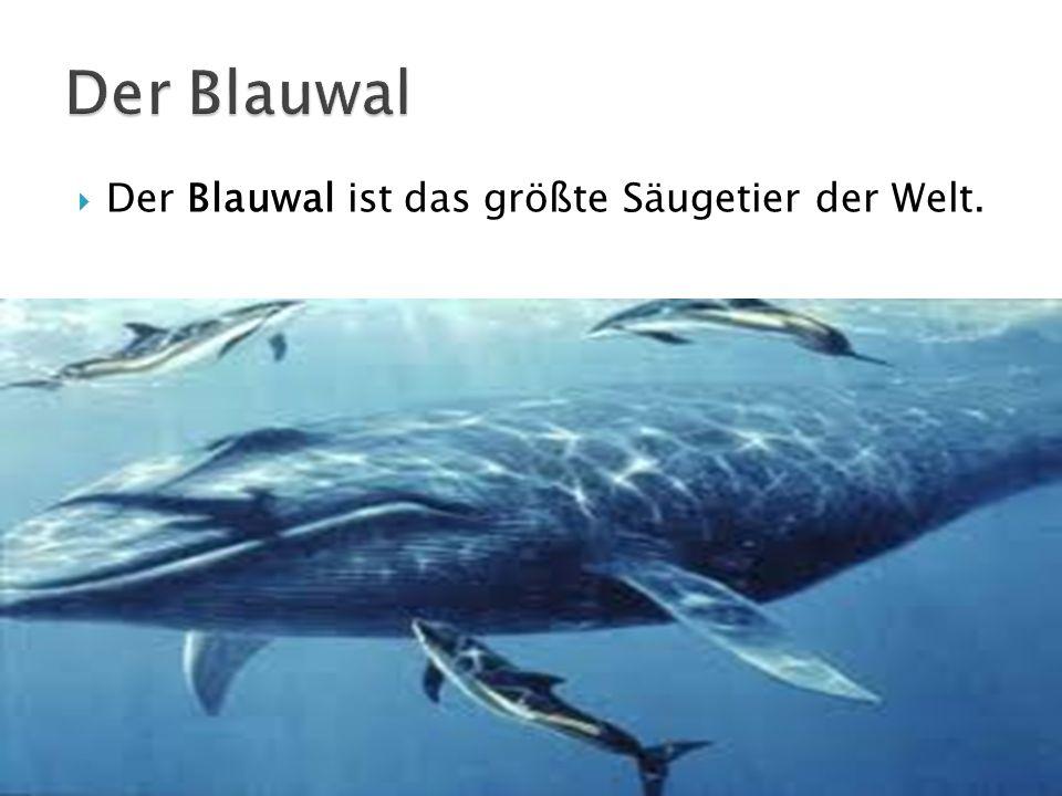 Der Blauwal Der Blauwal ist das größte Säugetier der Welt.