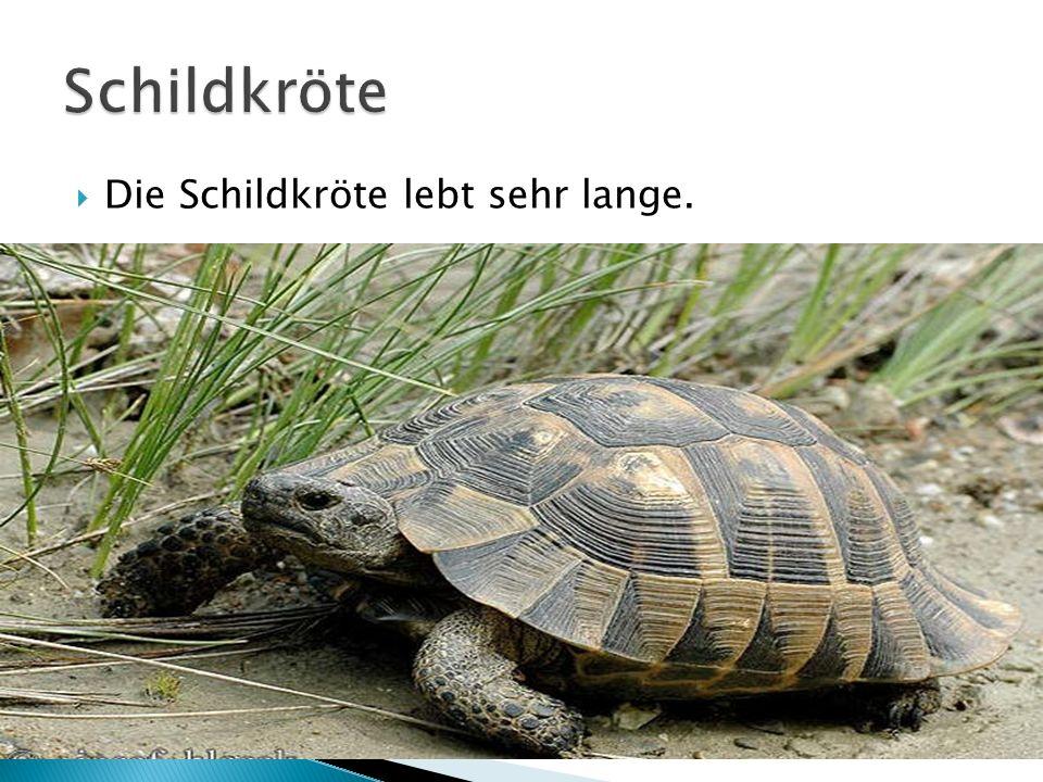 Schildkröte Die Schildkröte lebt sehr lange.