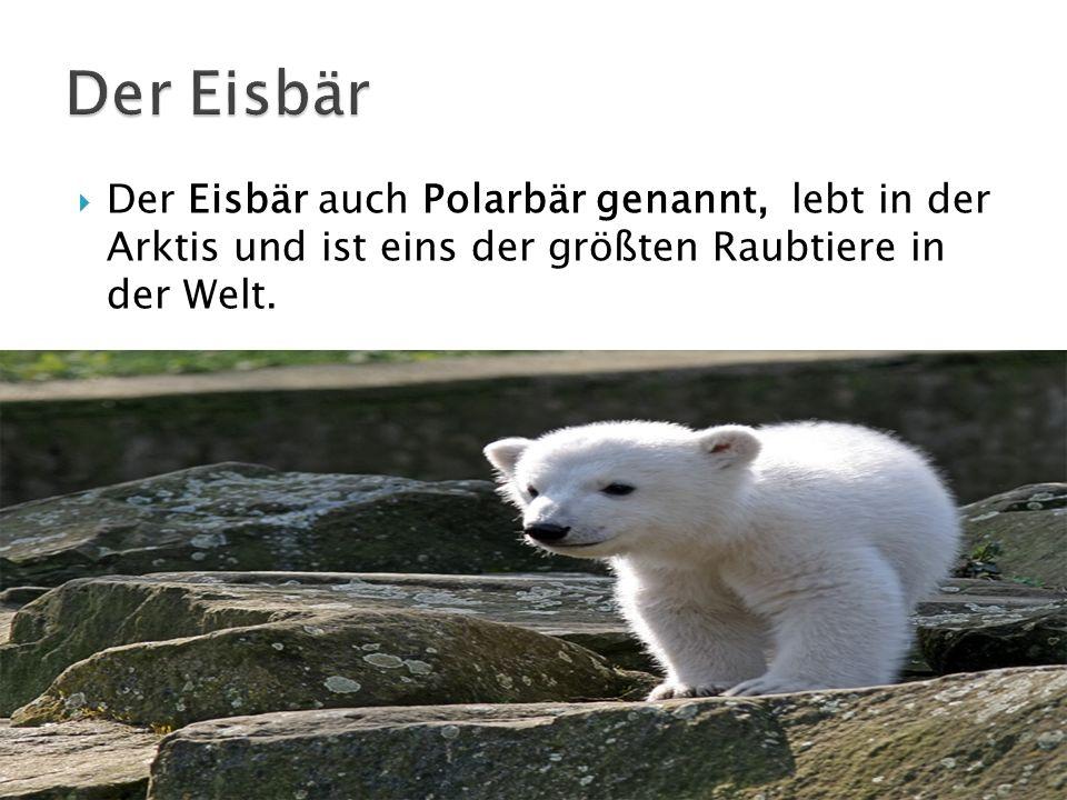 Der Eisbär Der Eisbär auch Polarbär genannt, lebt in der Arktis und ist eins der größten Raubtiere in der Welt.