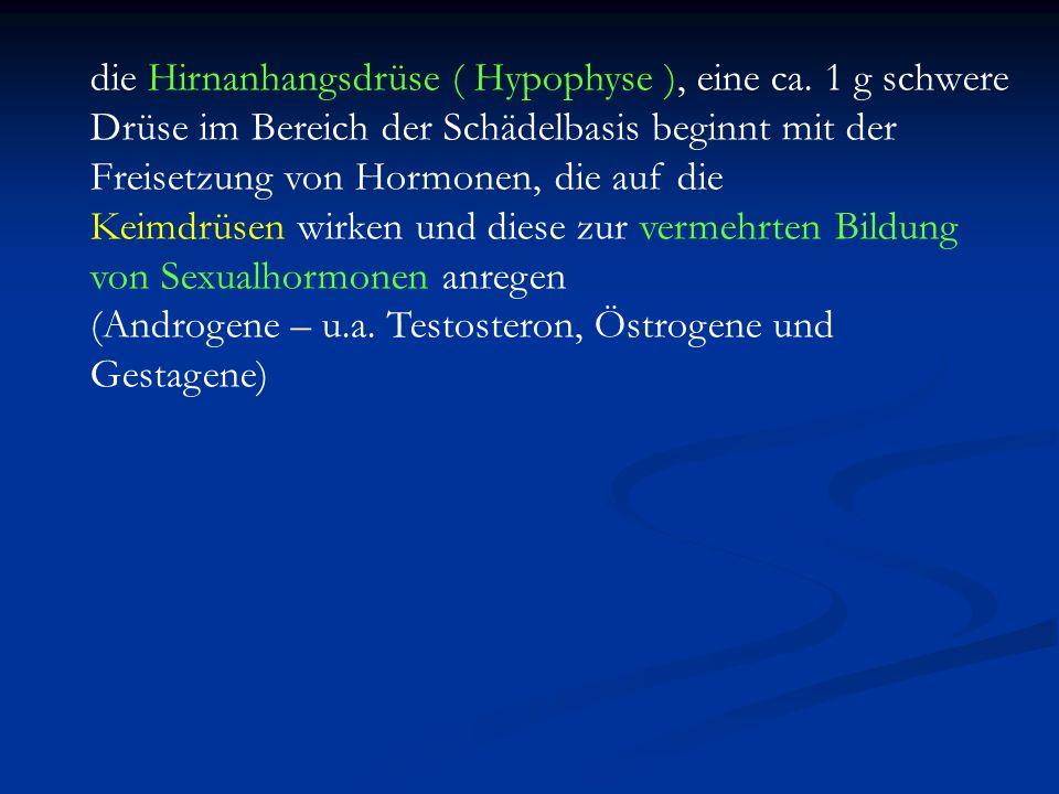 die Hirnanhangsdrüse ( Hypophyse ), eine ca. 1 g schwere