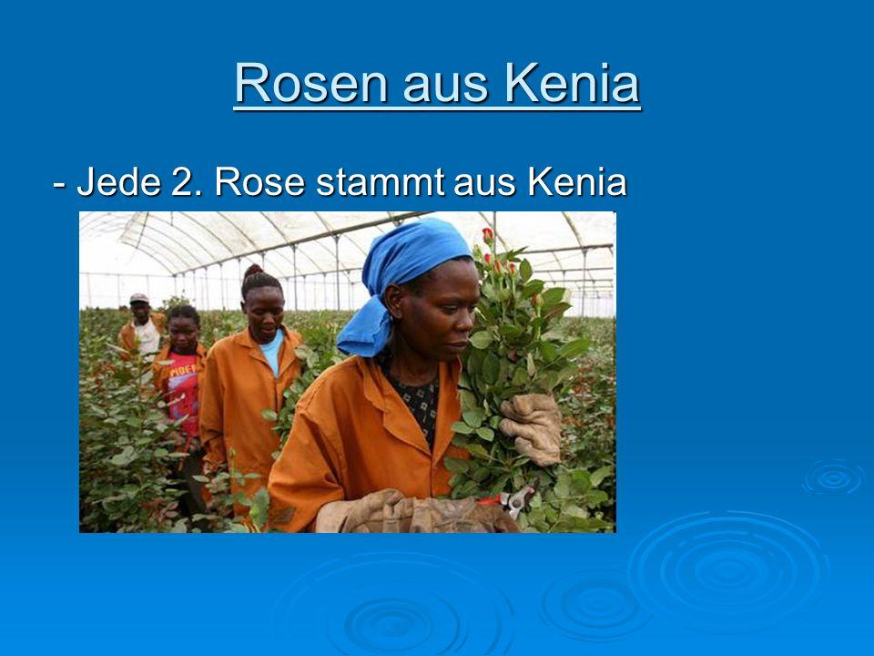 Rosen aus Kenia - Jede 2. Rose stammt aus Kenia