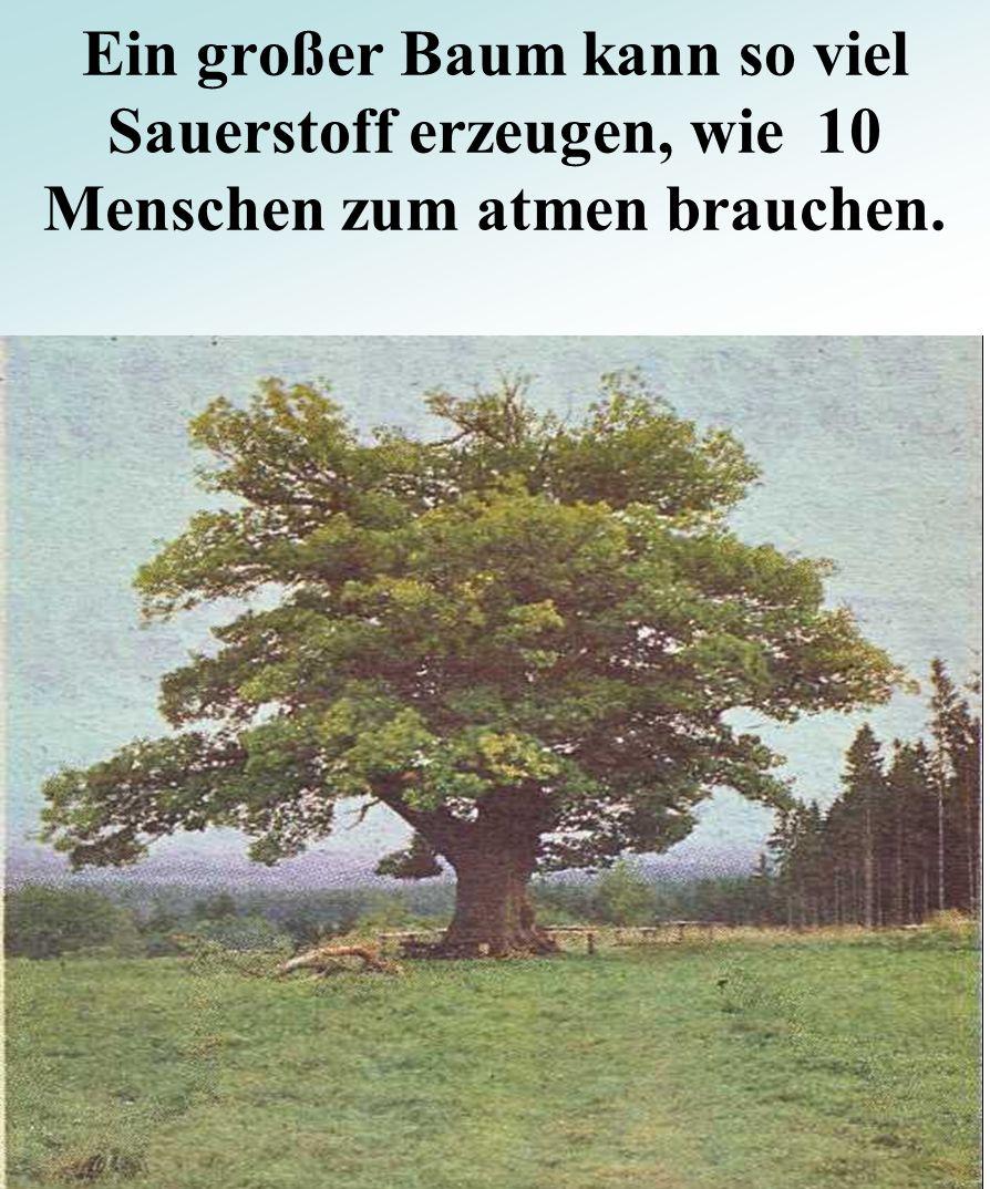Ein großer Baum kann so viel Sauerstoff erzeugen, wie 10 Menschen zum atmen brauchen.