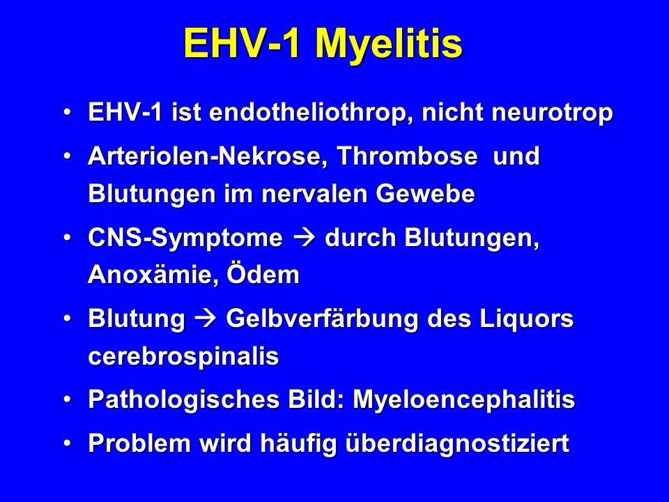 EHV-1 Myelitis EHV-1 ist endotheliothrop, nicht neurotrop