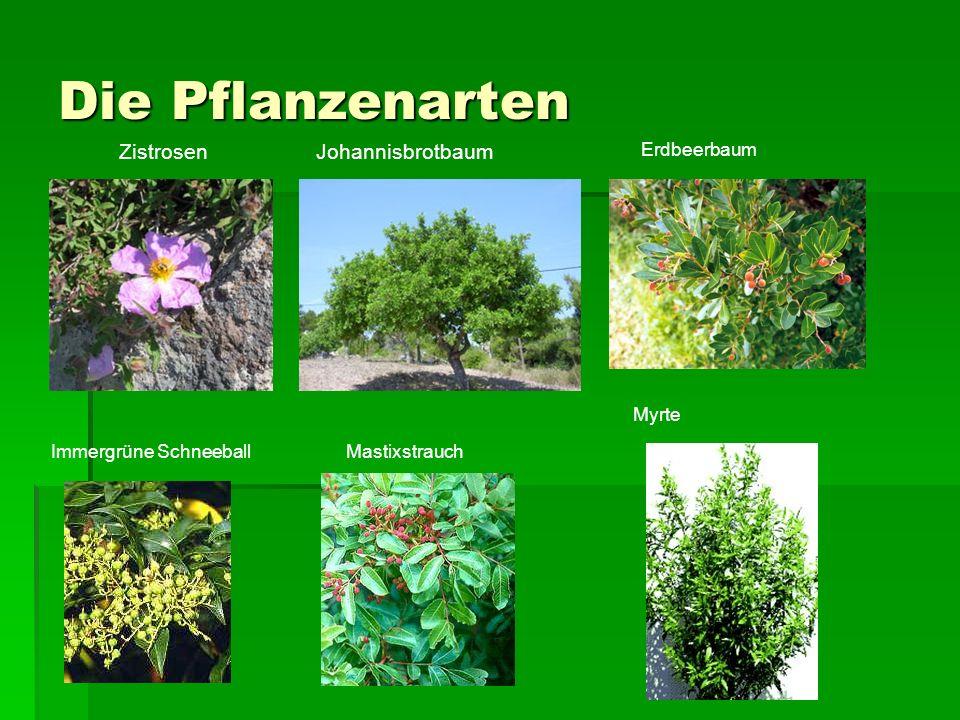 Die Pflanzenarten Zistrosen Johannisbrotbaum Erdbeerbaum Myrte