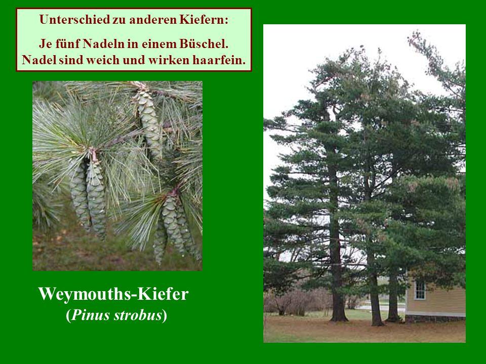 Weymouths-Kiefer (Pinus strobus) Unterschied zu anderen Kiefern: