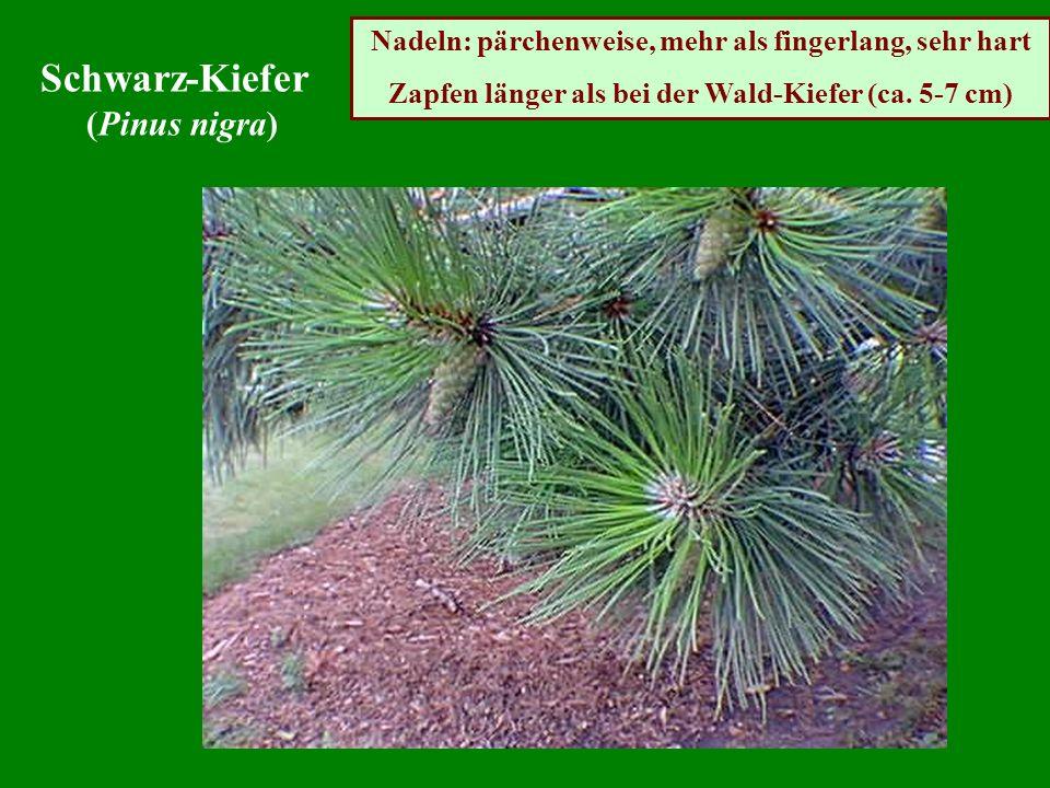 Schwarz-Kiefer (Pinus nigra)