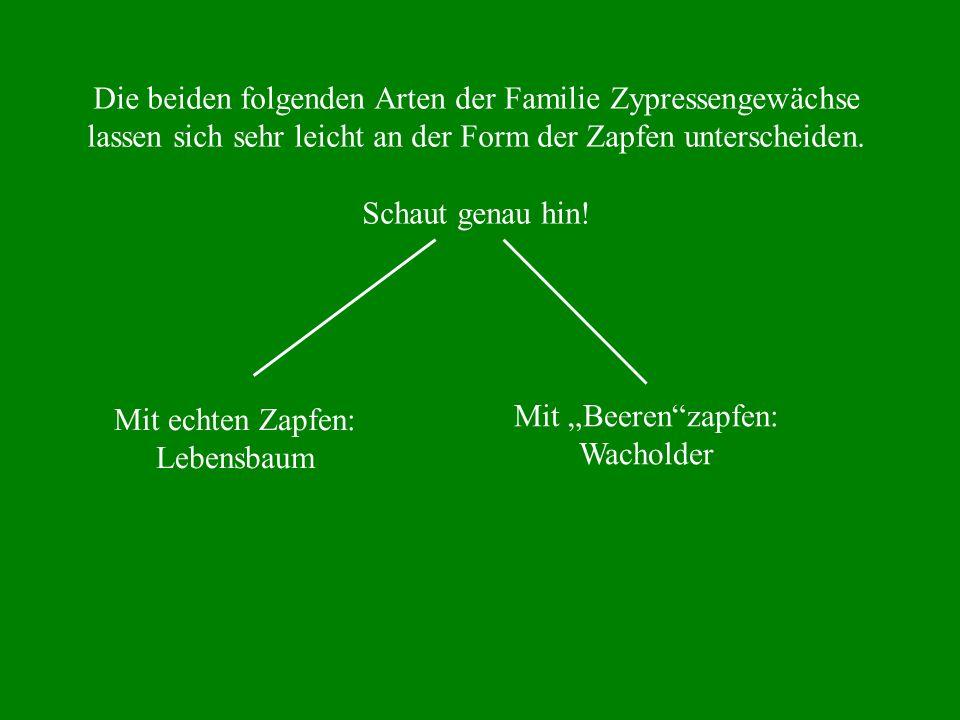 Die beiden folgenden Arten der Familie Zypressengewächse