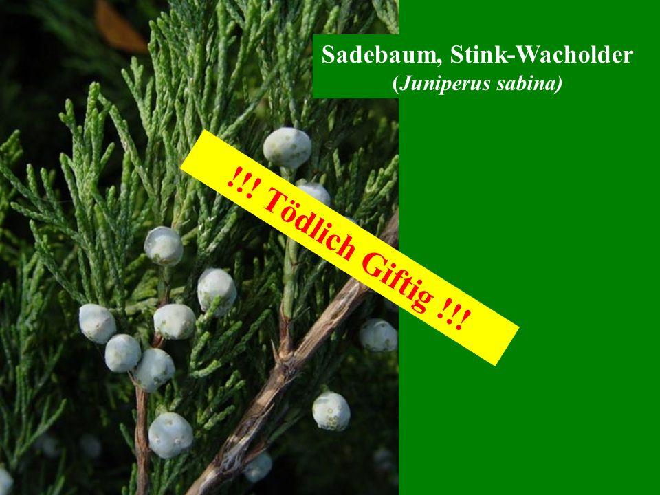Sadebaum, Stink-Wacholder