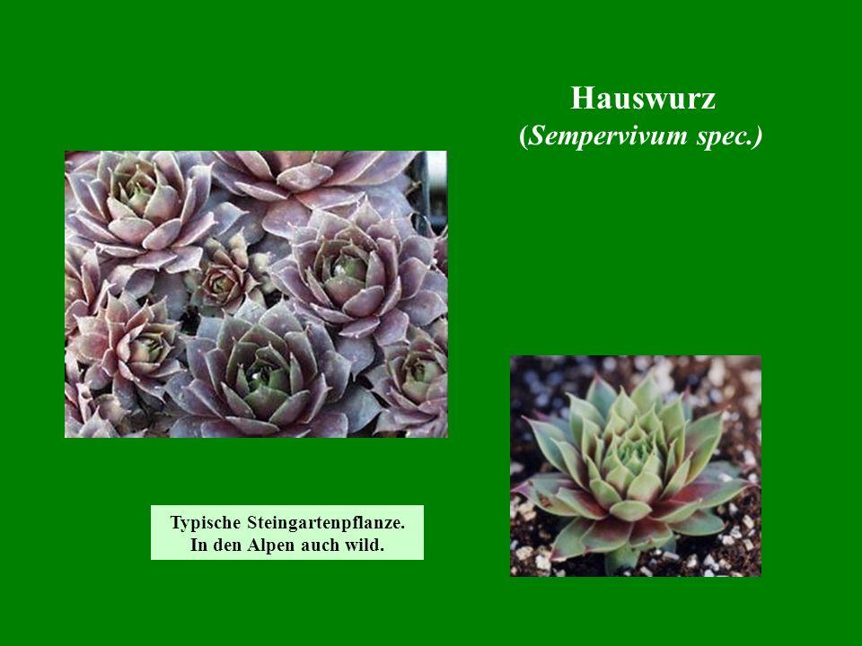 Typische Steingartenpflanze.