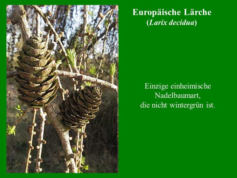 Einzige einheimische Nadelbaumart, die nicht wintergrün ist.