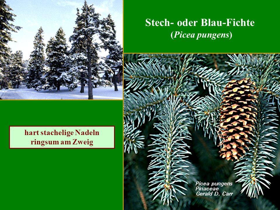 Stech- oder Blau-Fichte hart stachelige Nadeln ringsum am Zweig