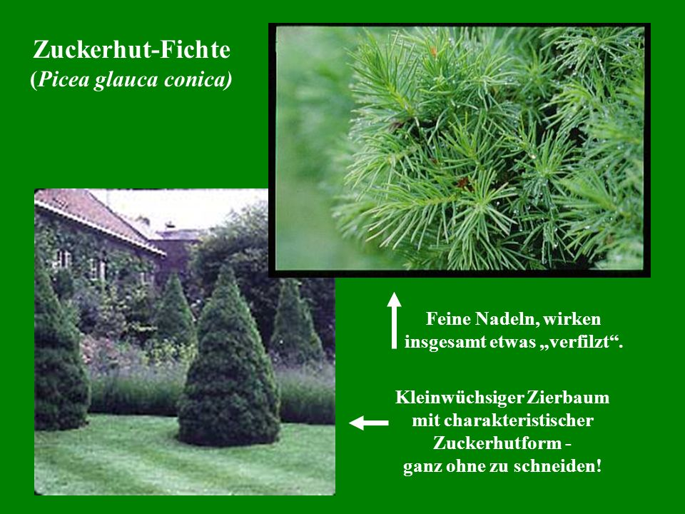 Zuckerhut-Fichte (Picea glauca conica)