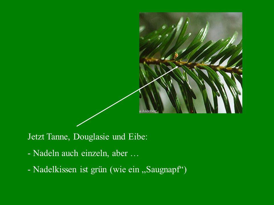 Jetzt Tanne, Douglasie und Eibe:
