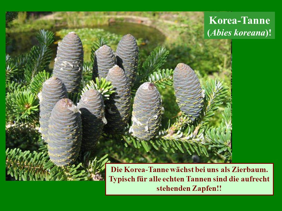 Korea-Tanne (Abies koreana)!