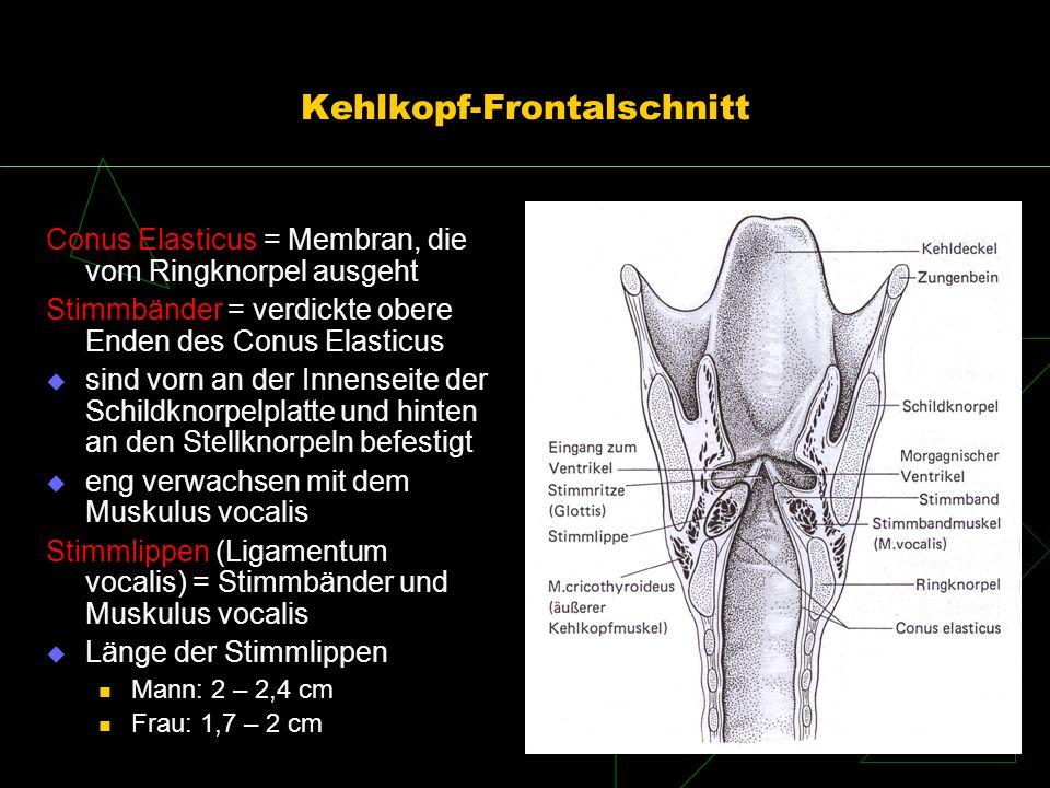 Kehlkopf-Frontalschnitt