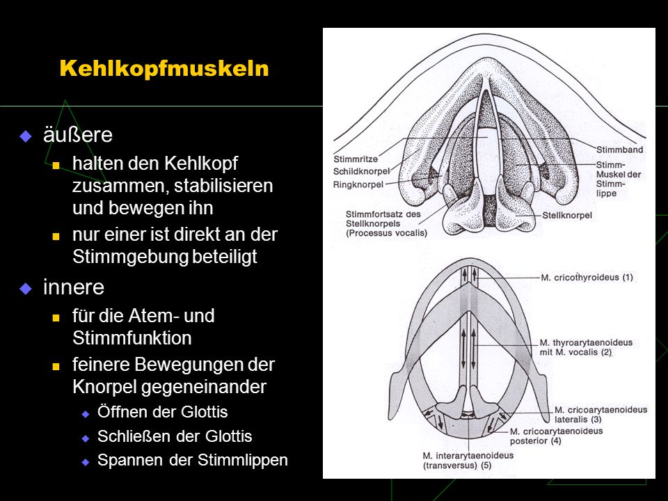 Kehlkopfmuskeln äußere innere