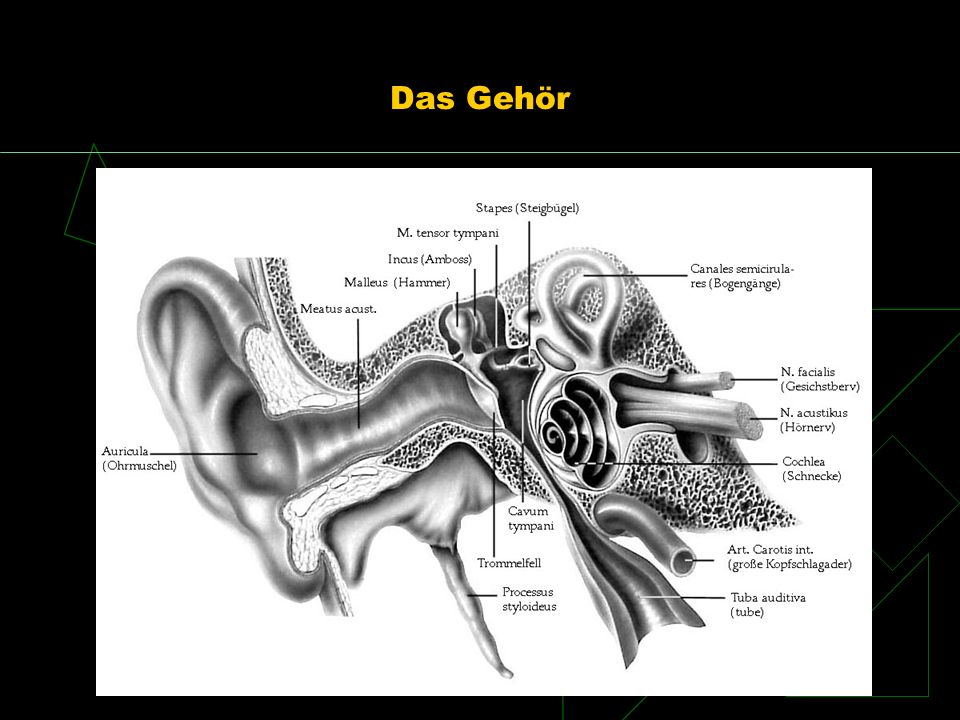 Das Gehör