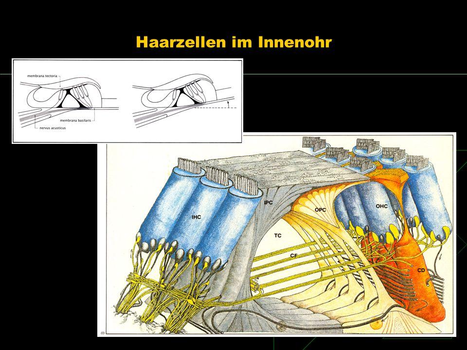 Haarzellen im Innenohr