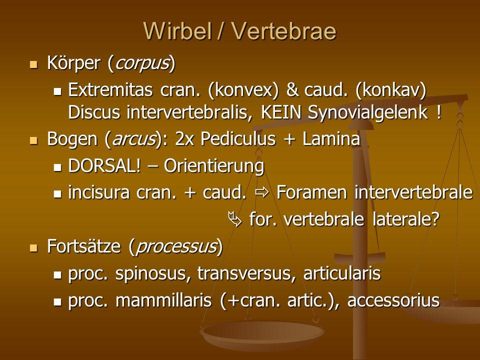 Wirbel / Vertebrae Körper (corpus)