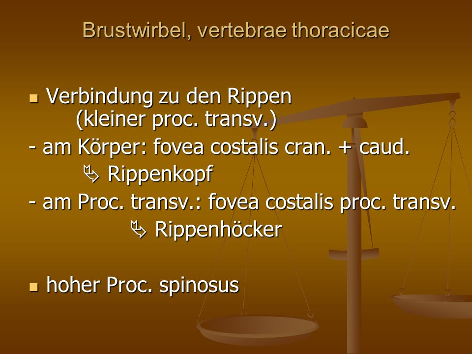 Brustwirbel, vertebrae thoracicae