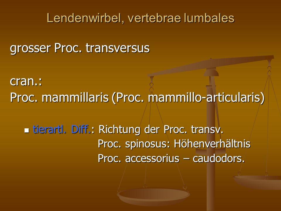 Lendenwirbel, vertebrae lumbales